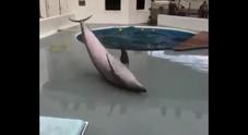 Delfino disperato scappa dalla vasca e piange: le immagini commoventi