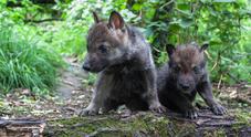 Achille e Ulisse, i cuccioli di lupo cresciuti in un recinto che hanno ritrovato la libertà