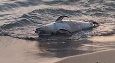 Ecatombe di delfini sulle coste del Lazio, trovato ennesimo esemplare spiaggiato