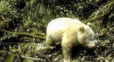 Cina, avvistato un panda albino: evento rarissimo a 2.000 metri d'altezza