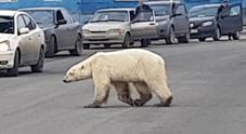 L'orso polare spunta in città:  «Debole e malato, cercava cibo»