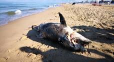 Delfino madre morta spiaggiata a Baia Azzurra