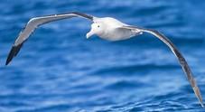 Wisdom, il più vecchio albatro al mondo diventa mamma