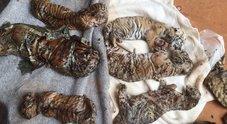 Thailandia, morte le tigri sottratte al Tempio che le sfruttava per turismo