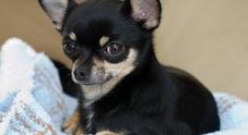 Chihuahua salva padrona dall'aggressione di un orso