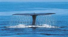 Branco di balene resta incagliato, salvate da decine di bagnanti