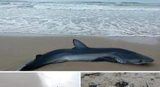 Mamma squalo di tre metri partorisce e muore con i cuccioli sulla spiaggia