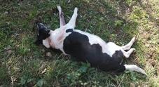Cagnolina incinta uccisa a colpi di fucile: caccia al killer