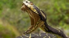 Dente per dente: uomo uccide un serpente prima di morire avvelenato
