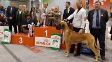 Un piccolo levriero italiano di Lecco è il più bel cane d'Europa