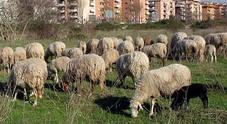 Pecore giardiniere al debutto, la giunta: si parte in 2 parchi