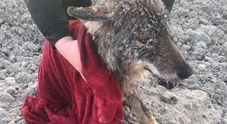 Salvano dai ghiacci un cane, ma una volta in auto scoprono che è un lupo