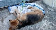 Legata per due giorni al cancello del mattatoio: cagnolina muore di stenti