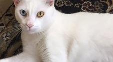 La storia di Cotone, il gatto con un occhio verde e uno azzurro