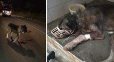Choc sulla Panoramica, cane investito e abbandonato: salvato dai volontari