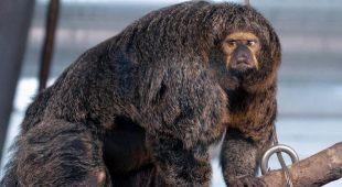 Scimmia muscolosa in uno zoo: l'immagine sconvolge il web
