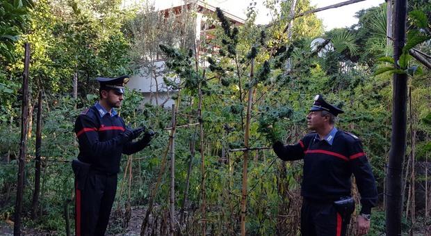 Piano di Sorrento, piantagione di cannabis nel giardino di casa: 35enne in manette
