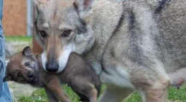 lupo con cucciolo