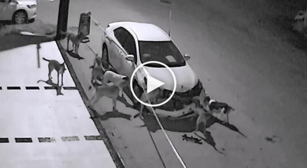 Cani rabbiosi distruggono lauto parcheggiata Credevo fossero ladri 1500 euro di danni -Video