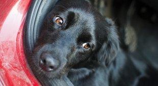Lascia il cane chiuso in auto sotto il sole per più di sei ore: salvato dai poliziotti
