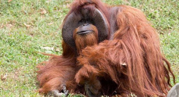 Addio a Chantek, l'orango che aveva imparato la lingua dei segni