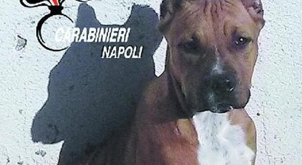 Pitbull e altari della Madonna il clan a Napoli occupa i giardinetti