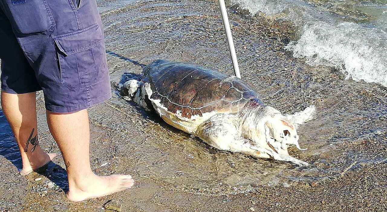 Villammare, recuperata tartaruga spiaggiata:era in stato avanzato di  decomposizione - Il Mattino.it