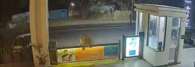 Leone entra in hotel saltando oltre il cancello: il video diventa virale