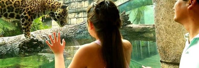 Uno dei giaguari ospitati dallo zoo. (Immagini pubbl da Jacksonville Zoo and Gardens su Fb)