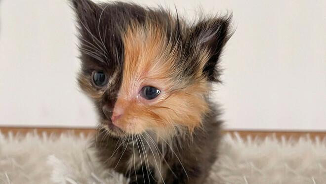 Una gattina ha la faccia divisa simmetricamente in due colori