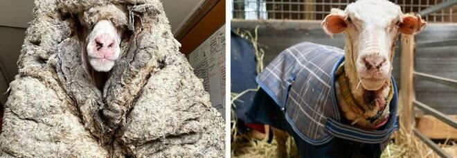 Scoperta una pecora con circa 35 kg di vello addosso che le impedivano di vedere e che le stavano causando la morte