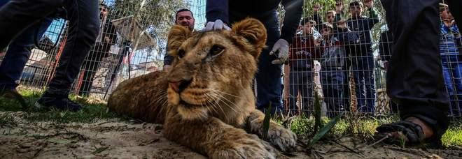 Lo zoo rimuove gli artigli ad una leonessa: «Così possono giocarci i bambini»