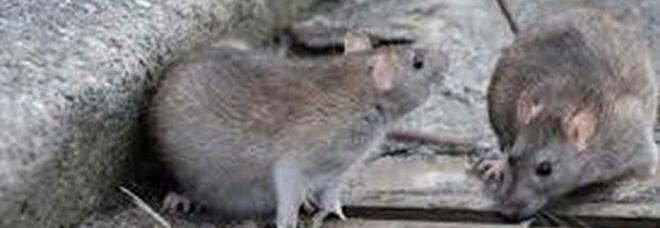 Colonie di topi a Chinatown. La protesta: «Il Comune non interviene»