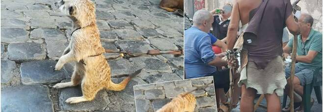 Un suricato a Trastevere? (immagini concesse dalla biologa Valentina Braccia)