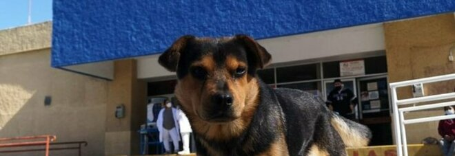 Un cucciolo aspetta fuori dall'ospedale il suo proprietario, morto più di un mese fa a causa del Covid-19