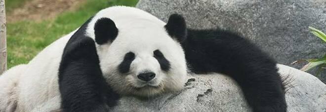 Catturate le immagini di un insolito panda gigante albino in Cina - VIDEO