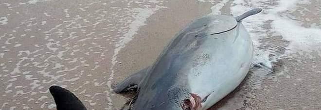 Trova un delfino morto in spiaggia e tenta di vivisezionarlo, ma rischia il linciaggio