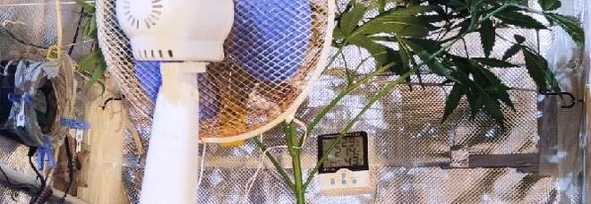 Napoli, in casa una serra di marijuana: lampada alogena per accelerare la crescita