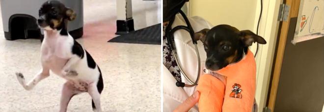 Cucciolo nato con le zampe capovolte torna a camminare dopo l'intervento