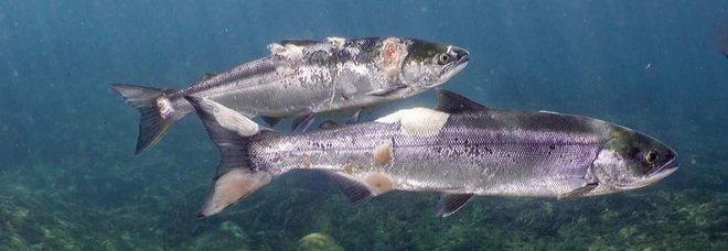 I salmoni malati che soffocano nelle acque troppo calde dei fiumi americani (frame e video diffusi su Fb e Youtube dalla ong Columbia Riverkeeper)