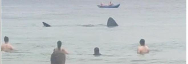 Uno dei due squali tra i bagnanti. (Frame da Sandra Hayes su Tik Tok, altre immag e video da The Irish Times)