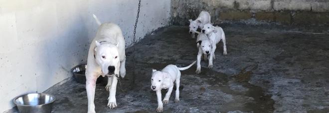 Doghi e pittbull denutriti, feriti o morti: scoperto canile lager per combattimenti nel Napoletano
