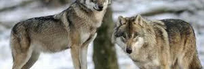Una coppia di lupi fotografata lo scorso inverno nel Parco di Veio a Nord di Roma