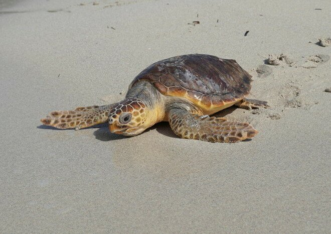 Scoperto il modo in cui le tartarughe riescono ad attraversare le gelide acque del Pacifico in un'epica migrazione di 14.500 chilometri dal Giappone al Messico