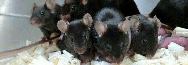 Topi nati da spermatozoi 'spaziali': «Sani dopo 6 anni di esposizione ai raggi cosmici»