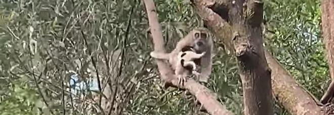 La scimmia tiene stretto a sé il cagnolino (immag diffuse su Fb da Cherry Lew Yee Lee, Wn Lew, Francis Yidaki CT nel gruppo Taman Lestari Putra)