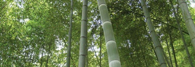 """Clima, apre la prima """"Banca ossigeno"""": bambù per compensare emissioni di CO2"""