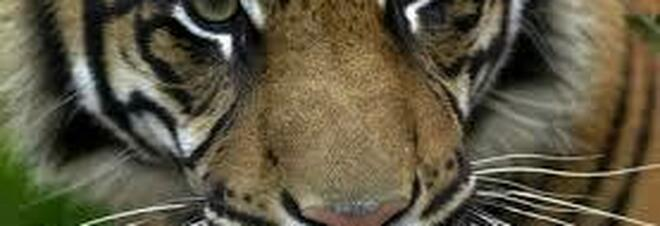 Una tigre in via di estinzione muore per complicazioni legate all'inseminazione artificiale