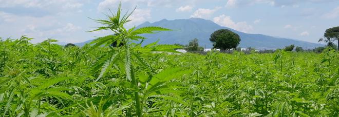 Stop alla cannabis light, tutte le falle della norma. Agricoltori in rivolta: «Siamo stati truffati»