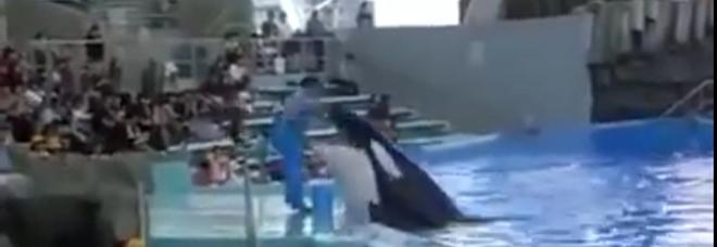Orca tenta di mordere l'addestratore al delfinario giapponese (video pubblicato da Creature del Mare Onlus)